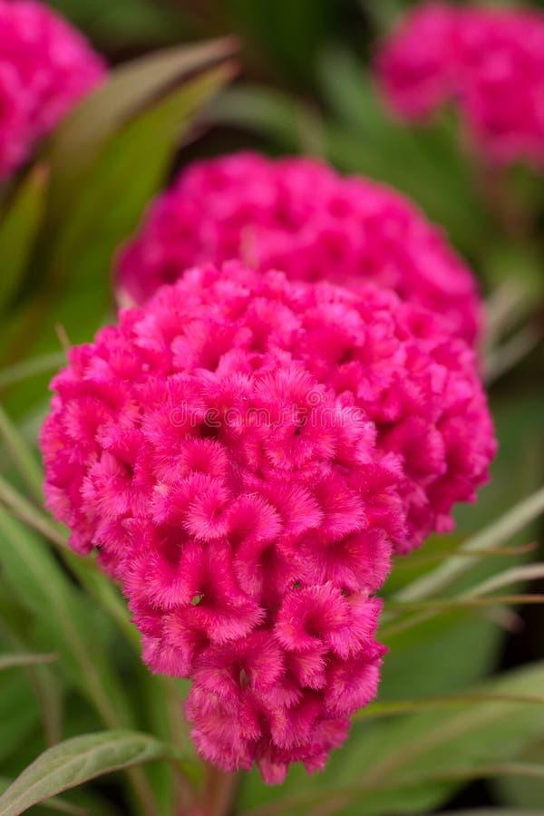 Różowy grzebionatka kwiat obrazy royalty free