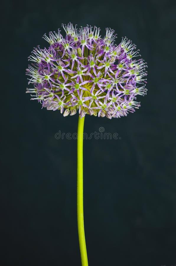 Różowy gwiazdowy kwiat zdjęcie royalty free