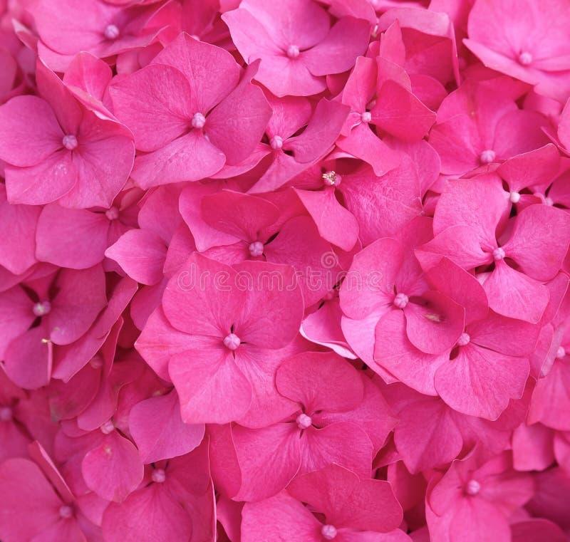 Różowy hortensi tło zdjęcia royalty free