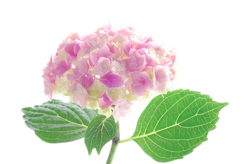różowy hortensia obrazy stock