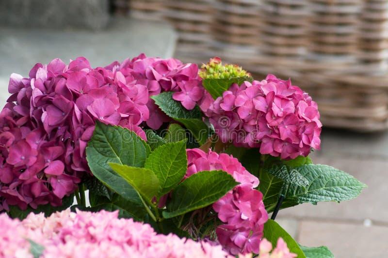 różowy hortensia kwitnie przy kwiaciarnią zdjęcie royalty free