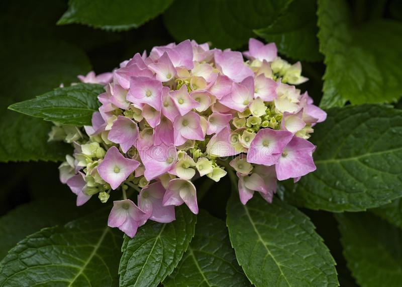 Różowy hortensji okwitnięcia początek Kwitnąć zdjęcie stock