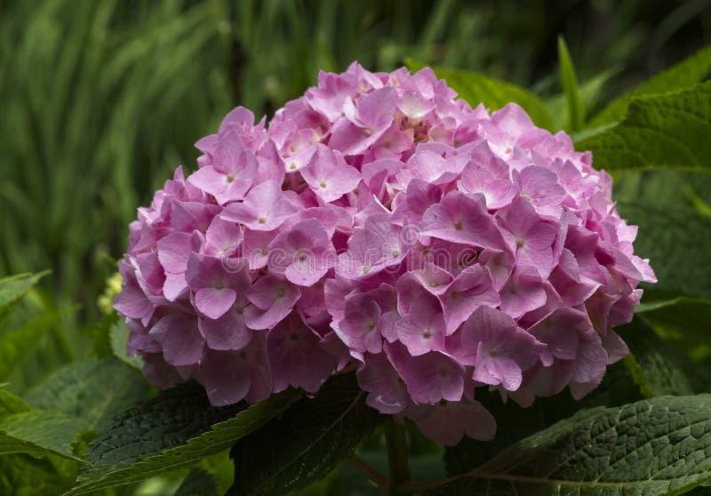Różowy hortensji okwitnięcie w Pełnym kwiacie zdjęcia stock