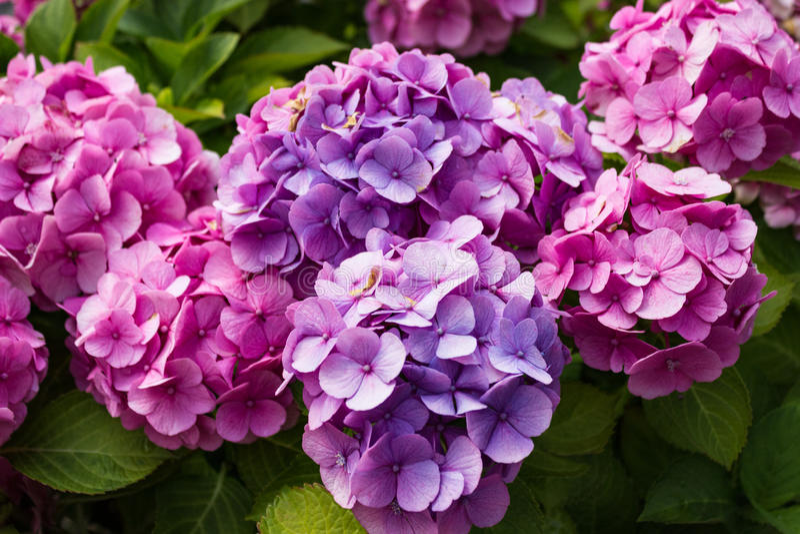 Różowy i purpurowy hortensia krzak fotografia royalty free