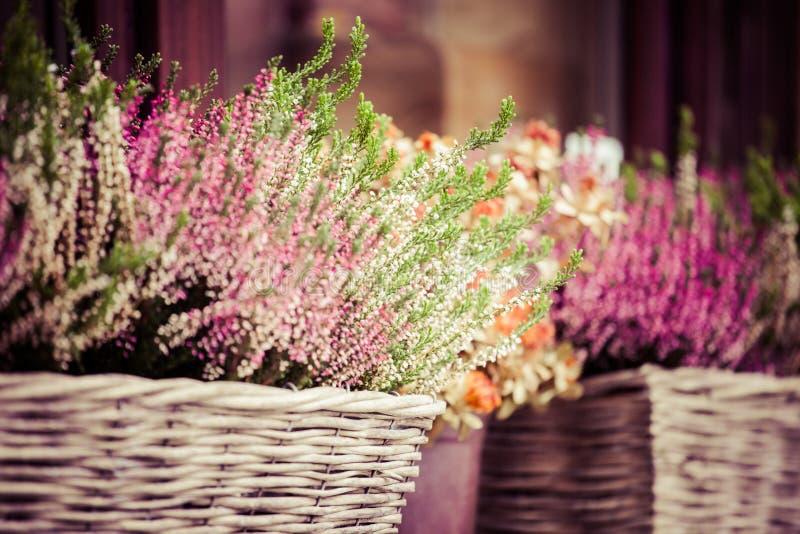 Różowy i purpurowy wrzos w dekoracyjnym kwiatu garnku fotografia stock