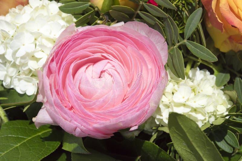 Różowy jaskier fotografia stock