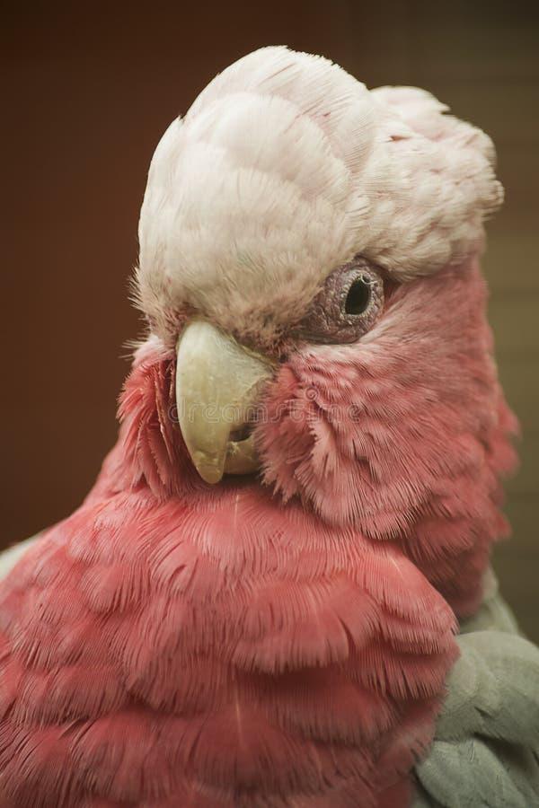 Różowy kakadu zdjęcia royalty free