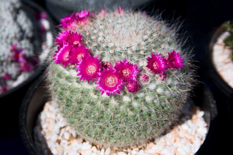 Różowy kaktusowy kwiat w flowerpot obraz stock