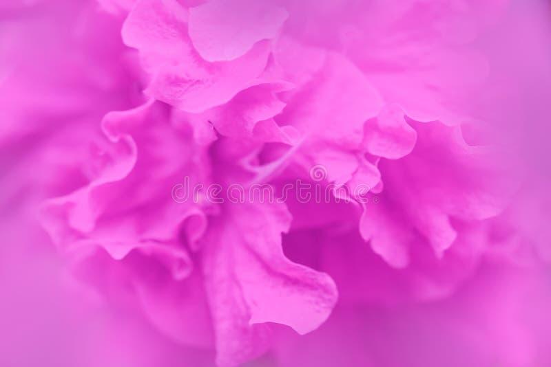 Różowy kolor poślubnika kwiatu płatków tło obraz stock