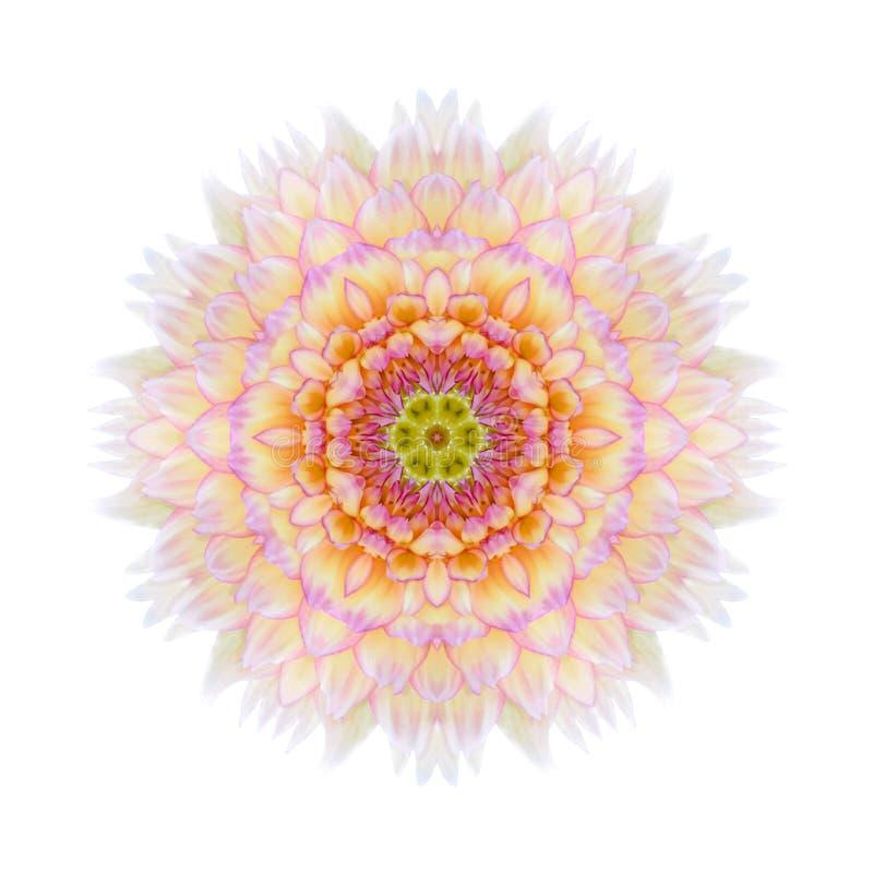 Różowy Koncentryczny chryzantemy mandala kwiat Odizolowywający zdjęcie royalty free