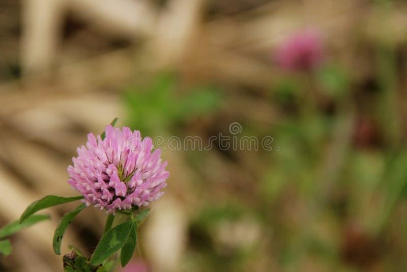różowy koniczyn fotografia stock