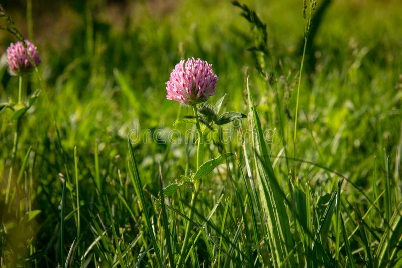 Różowy koniczynowy kwiat jest w zielonej trawie w polu w naturalnym miękkim świetle słonecznym T?o zdjęcie royalty free