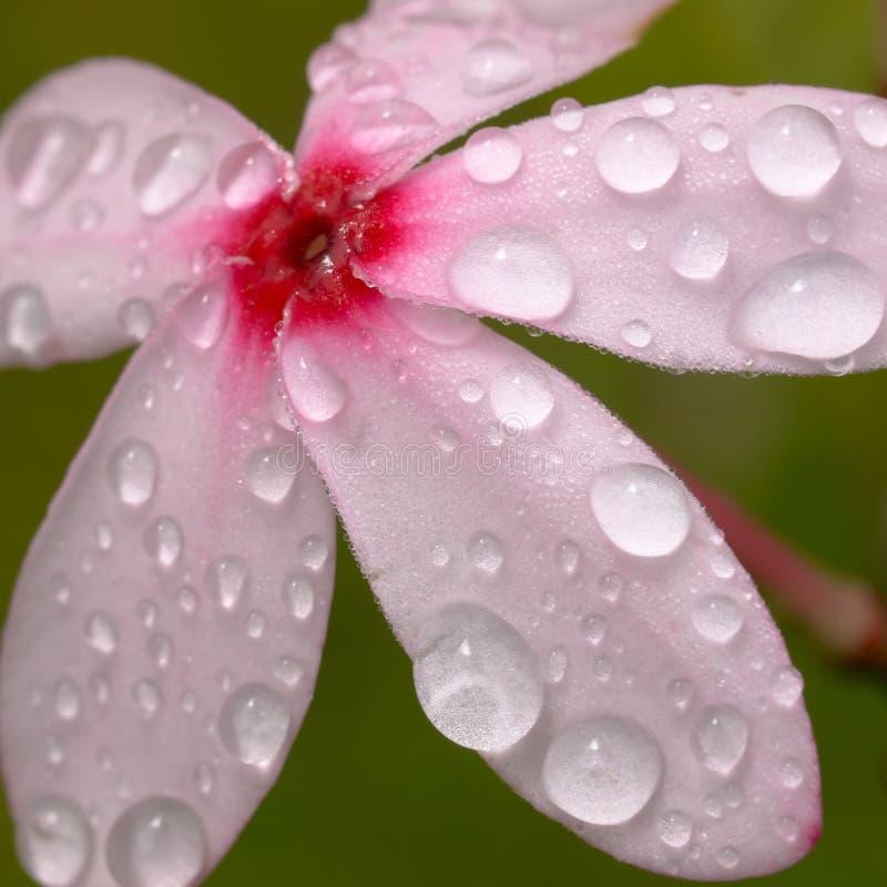 różowy kopsia zdjęcie stock