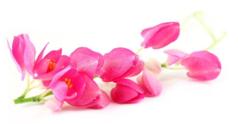 Różowy koralowy winograd obrazy royalty free