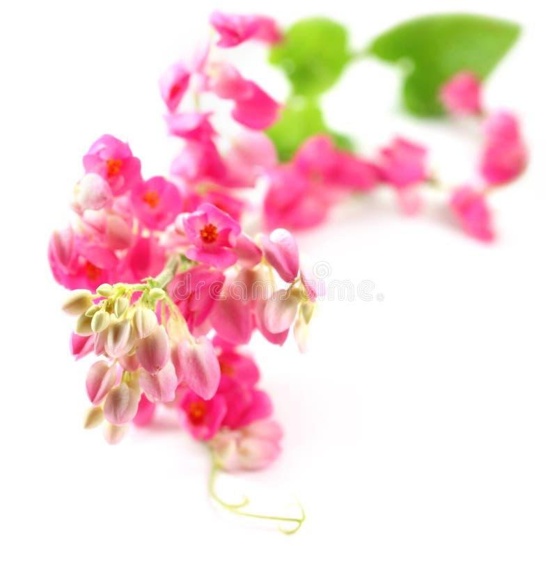 Różowy koralowy winograd zdjęcie stock