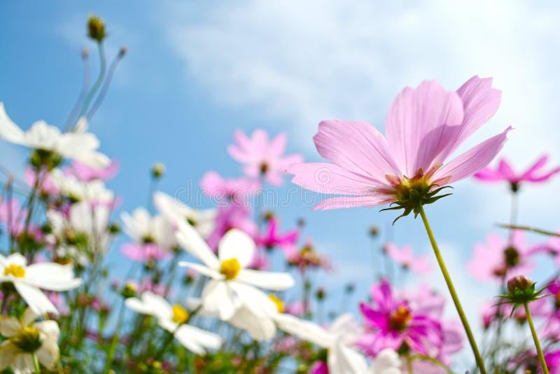 Różowy kosmosów kwiatów pole zdjęcie royalty free