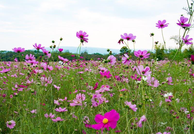Różowy kosmos w parku wśród pięknego dnia zdjęcia royalty free