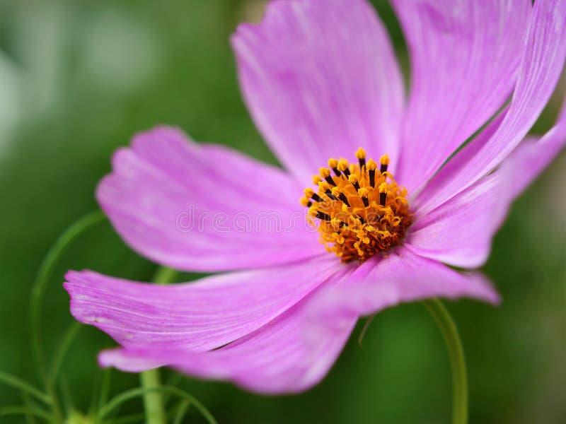 Różowy kosmosu kwiat lub meksykanina aster obrazy stock