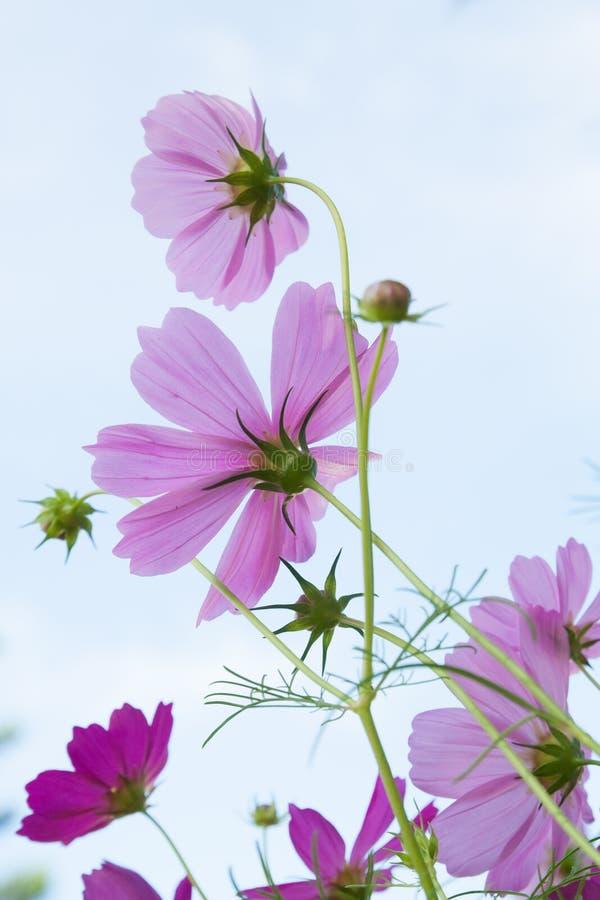 Różowy kosmosu kwiat na jasnym niebieskim niebie fotografia royalty free