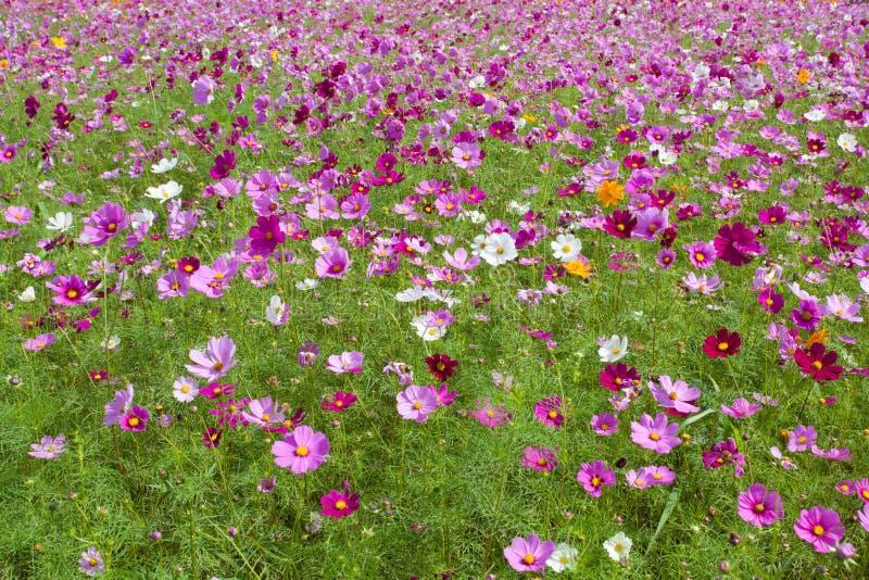 Różowy kosmosu kwiat w ogródzie obraz stock