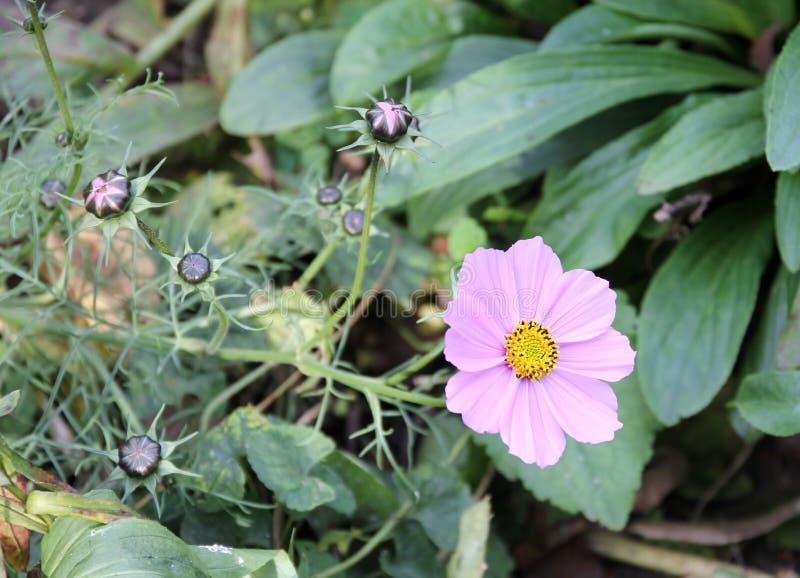 Różowy kosmosu kwiatu kosmos Bipinnatus z bliska zdjęcia royalty free