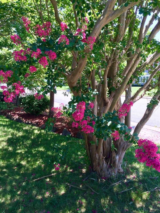 Różowy krepdeszynowego mirtu drzewo zdjęcia royalty free