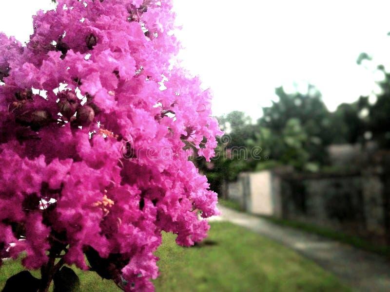 Różowy krepdeszynowy mirt fotografia stock