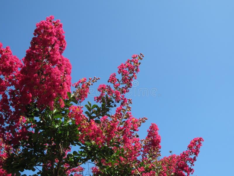 Różowy Krepdeszynowy mirt i niebieskie niebo zdjęcie stock