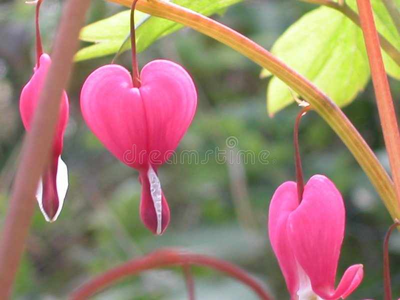 różowy krwawiącego serca fotografia stock