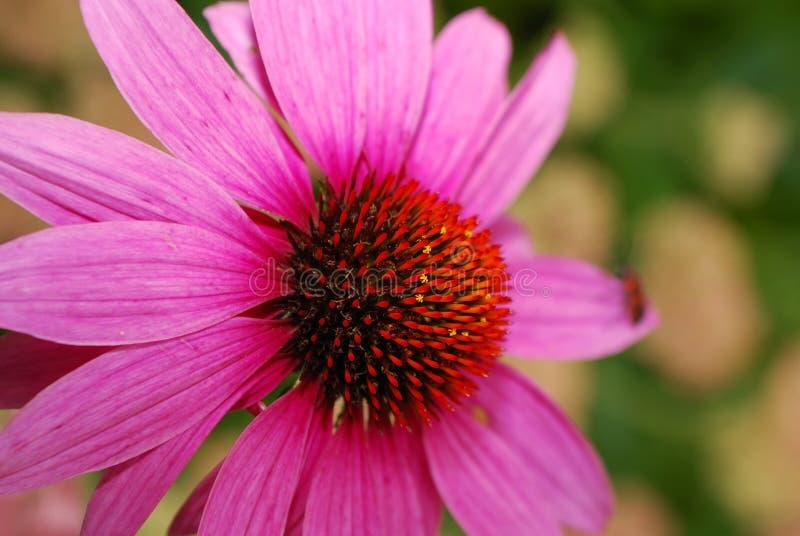 Różowy kwiat zdjęcia stock