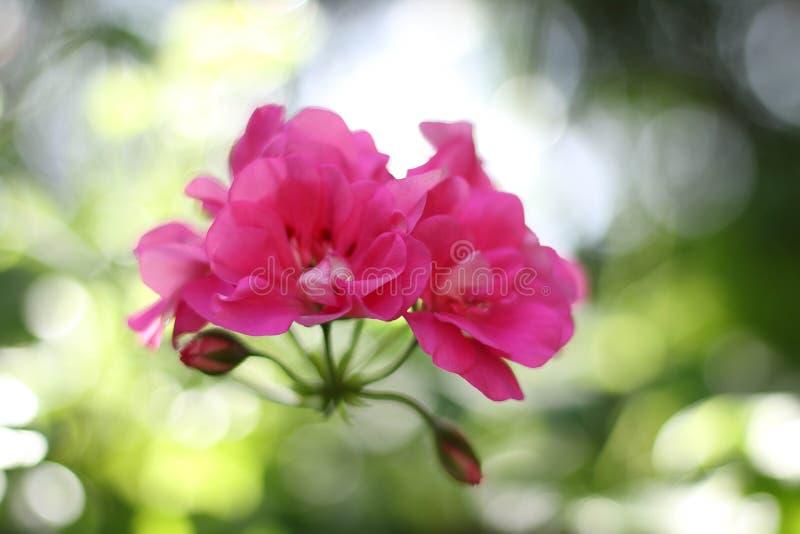 Różowy kwiat zdjęcie royalty free