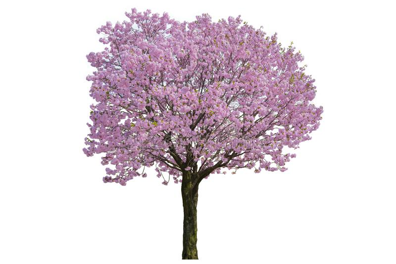 Różowy kwiat, Czereśniowych okwitnięć drzewo odizolowywający na białym tle fotografia stock