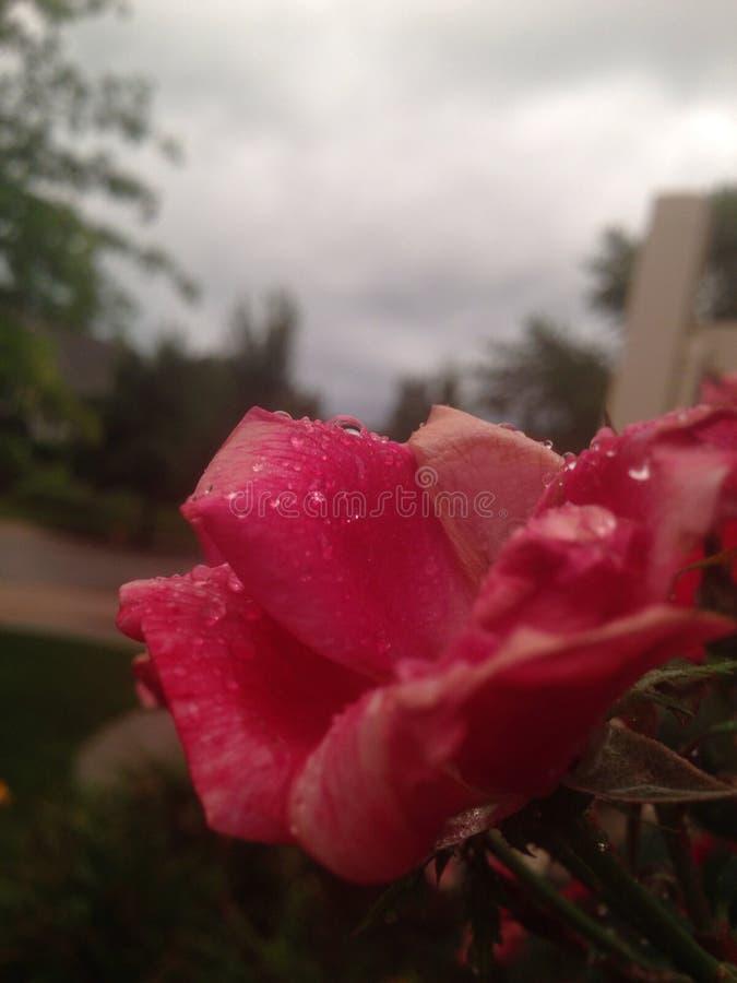 Różowy kwiat & deszcz zdjęcie stock