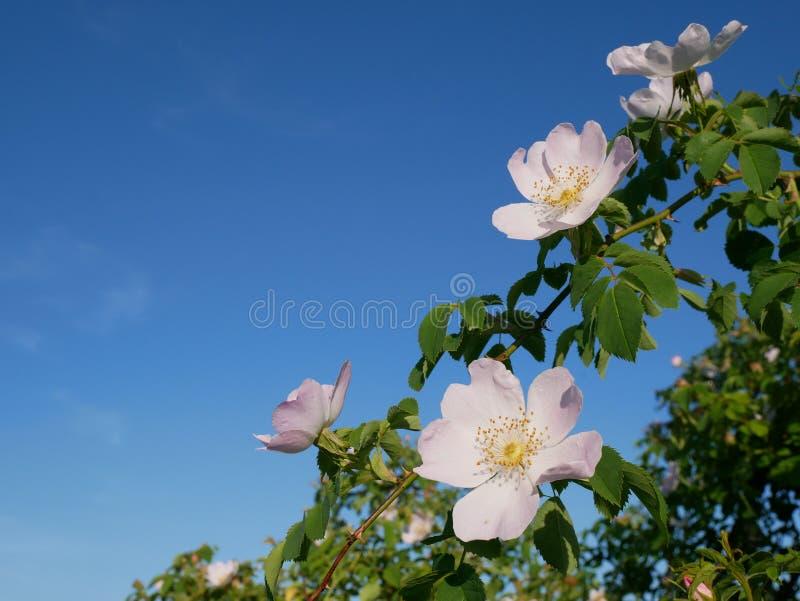 Różowy kwiat Różowy dziki różany lub dogrose kwitniemy z liśćmi na niebieskiego nieba tle fotografia royalty free