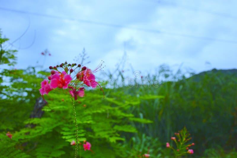 Różowy kwiat jest naturą obrazy royalty free