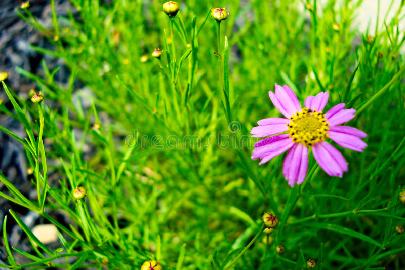 różowy kwiat pączkami zdjęcia stock
