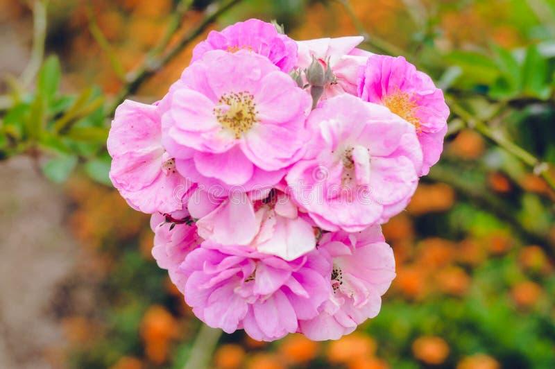 Różowy kwiat Piękny obraz stock