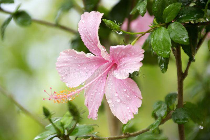 Różowy kwiat pod deszczem obraz stock