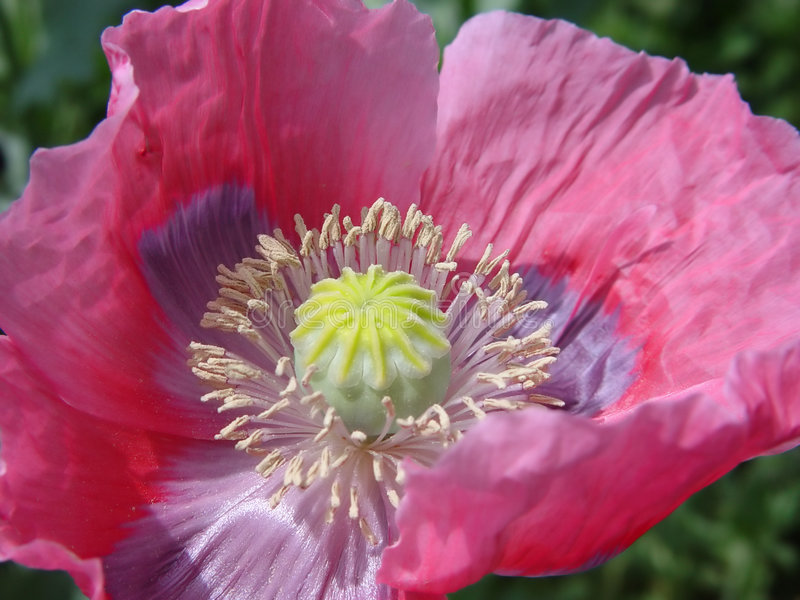 różowy kwiat poppy zdjęcia stock