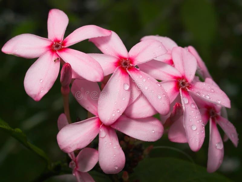 różowy kwiat skupisko mokre obraz stock