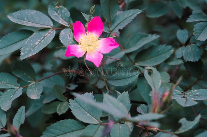 różowy kwiat wśród zielonych liści zdjęcia royalty free