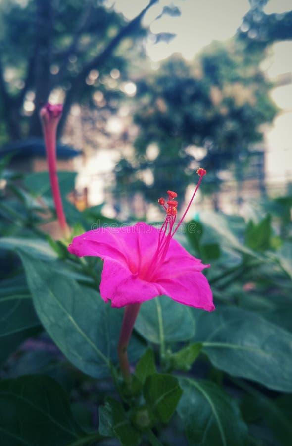 Różowy kwiat w miasto ulicie obrazy royalty free