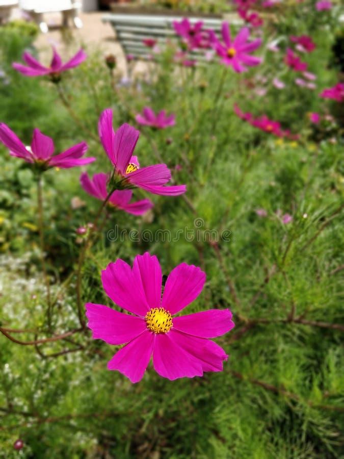Różowy kwiat w ogródzie różanym obraz stock