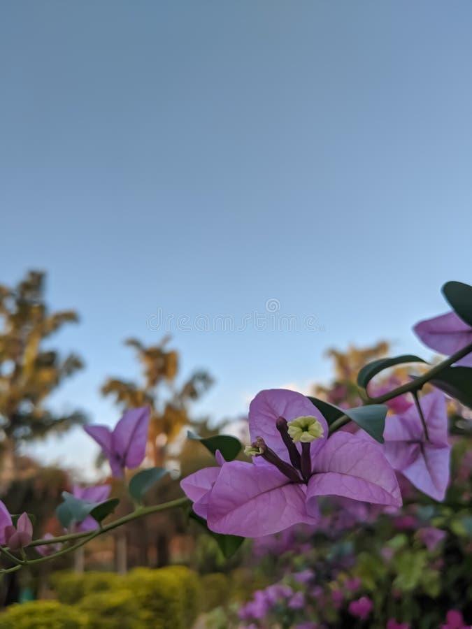 Różowy kwiat w ogrodzie na tle nieba obraz stock