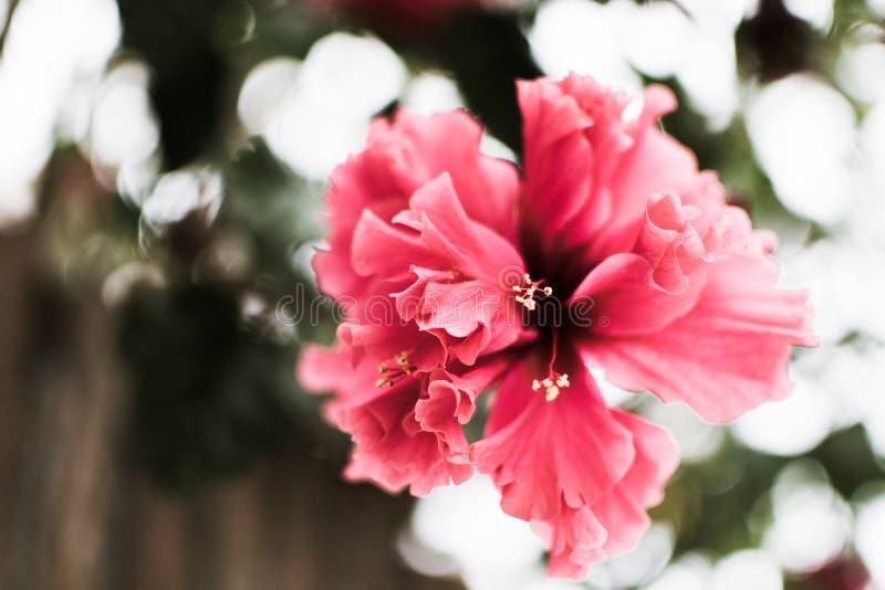 różowy kwiat wiesza samotnie fotografia royalty free