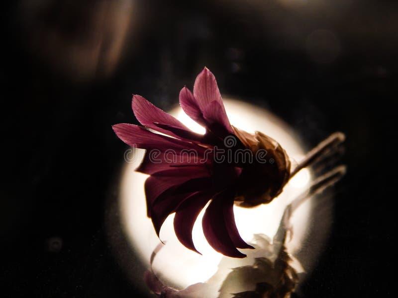 Różowy kwiat z backlight zdjęcia royalty free