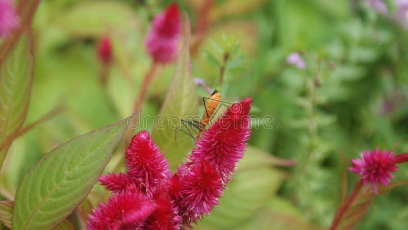 Różowy kwiat z pomarańczowym insektem obrazy stock