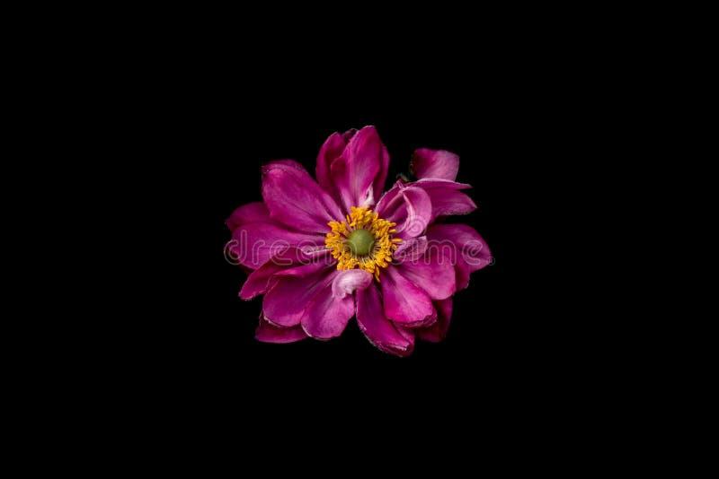 Różowy kwiat z szczegółami, pojedynczy romantyczny żywy kwiat fotografia royalty free