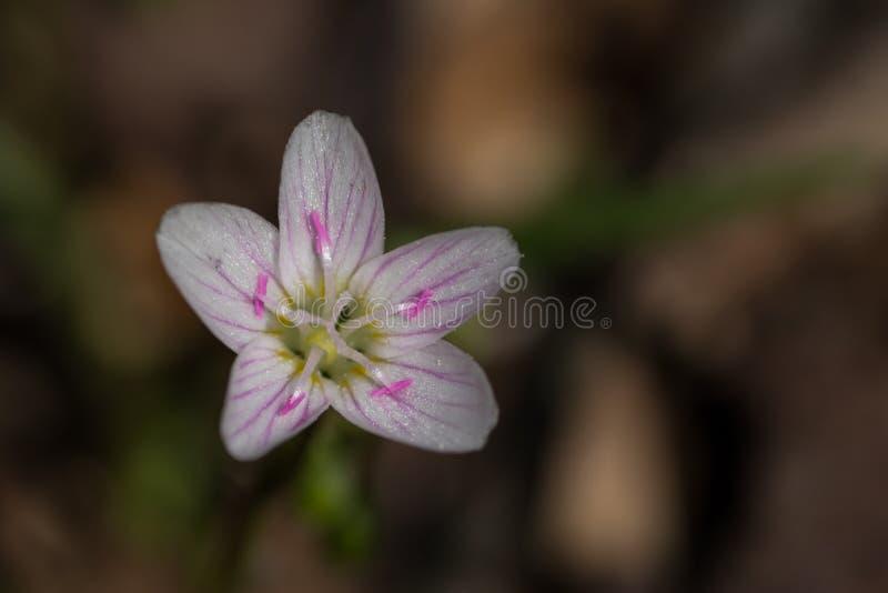 różowy kwiatu biel zdjęcia royalty free