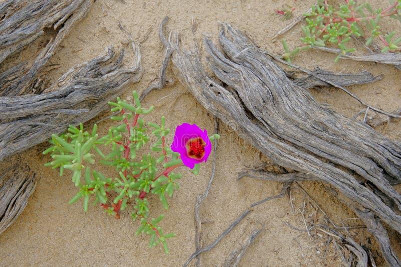 Różowy kwiatu kwitnienie w Atacama pustyni, Argentyna obraz stock
